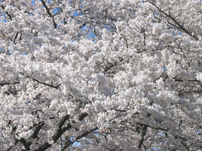 桜 Part2